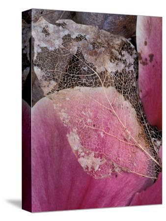 Dead Leaf, Seattle, Washington, USA-William Sutton-Stretched Canvas Print