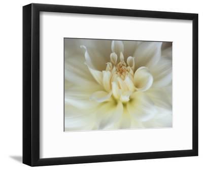 White Dahlia Close-up-Janell Davidson-Framed Photographic Print