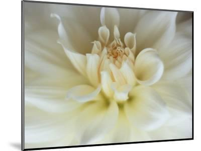 White Dahlia Close-up-Janell Davidson-Mounted Photographic Print