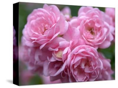 Pink Landscape Roses, Jackson, New Hampshire, USA-Lisa S^ Engelbrecht-Stretched Canvas Print