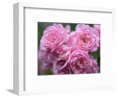 Pink Landscape Roses, Jackson, New Hampshire, USA-Lisa S^ Engelbrecht-Framed Photographic Print