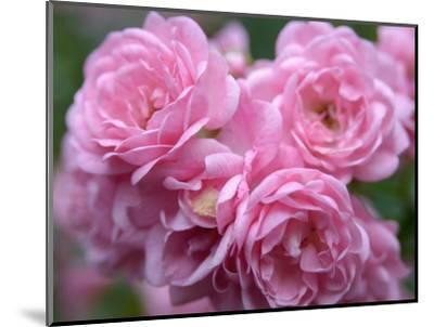 Pink Landscape Roses, Jackson, New Hampshire, USA-Lisa S^ Engelbrecht-Mounted Photographic Print