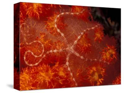 Brittlestar on Soft Coral, Papua, Indonesia-Michele Westmorland-Stretched Canvas Print