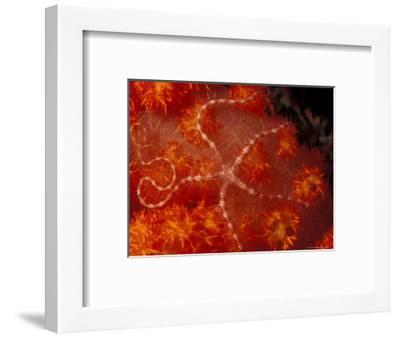 Brittlestar on Soft Coral, Papua, Indonesia-Michele Westmorland-Framed Photographic Print