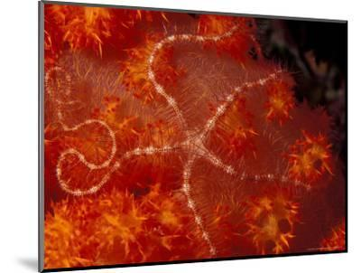 Brittlestar on Soft Coral, Papua, Indonesia-Michele Westmorland-Mounted Photographic Print