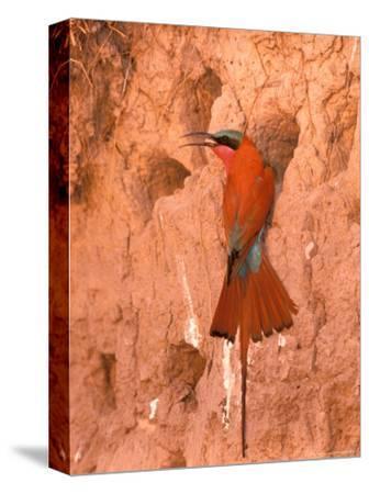 Carmine Bee-Eater, Okavango Delta, Botswana-Pete Oxford-Stretched Canvas Print