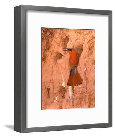 Carmine Bee-Eater, Okavango Delta, Botswana-Pete Oxford-Framed Photographic Print