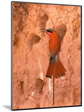 Carmine Bee-Eater, Okavango Delta, Botswana-Pete Oxford-Mounted Photographic Print