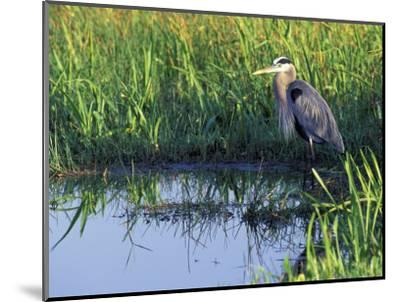 Great Blue Heron in Taylor Slough, Everglades, Florida, USA-Adam Jones-Mounted Photographic Print