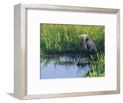 Great Blue Heron in Taylor Slough, Everglades, Florida, USA-Adam Jones-Framed Photographic Print
