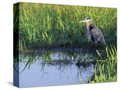 Great Blue Heron in Taylor Slough, Everglades, Florida, USA-Adam Jones-Stretched Canvas Print