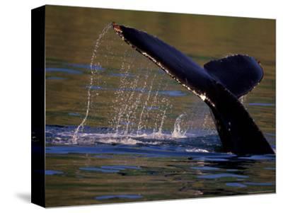 Surfacing Humpback Whale, Inside Passage, Southeast Alaska, USA-Stuart Westmoreland-Stretched Canvas Print