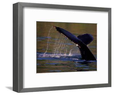 Surfacing Humpback Whale, Inside Passage, Southeast Alaska, USA-Stuart Westmoreland-Framed Photographic Print