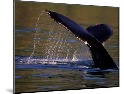 Surfacing Humpback Whale, Inside Passage, Southeast Alaska, USA-Stuart Westmoreland-Mounted Photographic Print