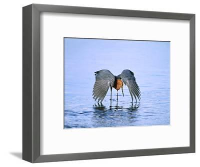 Reddish Egret Fishing, Ding Darling National Wildlife Refuge, Sanibel Island, Florida, USA-Charles Sleicher-Framed Photographic Print