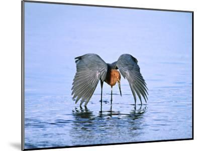 Reddish Egret Fishing, Ding Darling National Wildlife Refuge, Sanibel Island, Florida, USA-Charles Sleicher-Mounted Photographic Print