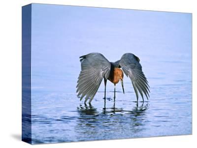 Reddish Egret Fishing, Ding Darling National Wildlife Refuge, Sanibel Island, Florida, USA-Charles Sleicher-Stretched Canvas Print