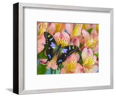 The Purple Spotted Swallowtail Butterfly-Darrell Gulin-Framed Photographic Print