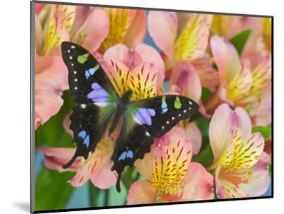 The Purple Spotted Swallowtail Butterfly-Darrell Gulin-Mounted Photographic Print