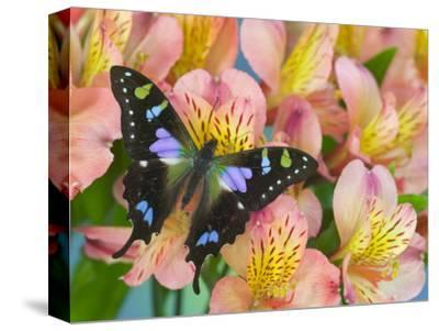 The Purple Spotted Swallowtail Butterfly-Darrell Gulin-Stretched Canvas Print
