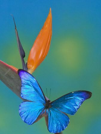 The Blue Morpho on Bird of Paradise-Darrell Gulin-Framed Photographic Print