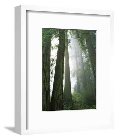 Redwoods in fog, Redwood National Park, California, USA-Charles Gurche-Framed Photographic Print
