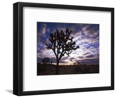 Joshua Trees, Joshua Tree National Park, California, USA-Charles Gurche-Framed Photographic Print
