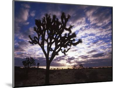 Joshua Trees, Joshua Tree National Park, California, USA-Charles Gurche-Mounted Photographic Print
