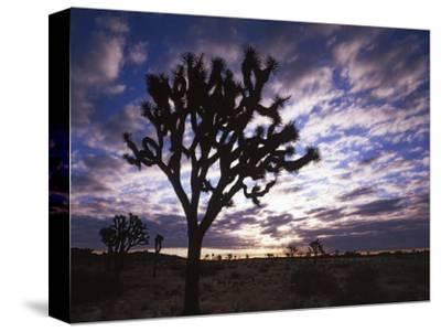Joshua Trees, Joshua Tree National Park, California, USA-Charles Gurche-Stretched Canvas Print