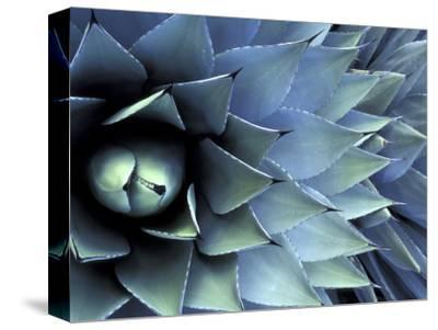 Pattern in Agave Cactus-Adam Jones-Stretched Canvas Print