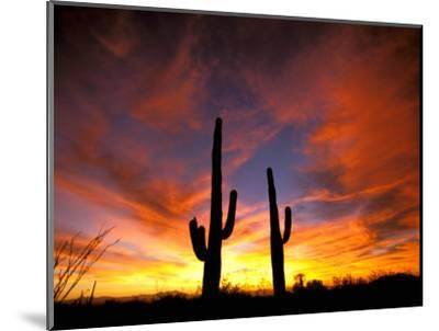 Saguaro Cactus at Sunset, Sonoran Desert, Arizona, USA-Marilyn Parver-Mounted Photographic Print