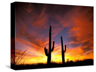 Saguaro Cactus at Sunset, Sonoran Desert, Arizona, USA-Marilyn Parver-Stretched Canvas Print