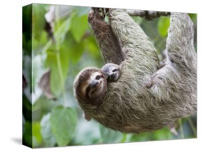 Brown-Throated Sloth and Her Baby Hanging from a Tree Branch in Corcovado National Park, Costa Rica-Jim Goldstein-Stretched Canvas Print