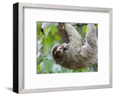 Brown-Throated Sloth and Her Baby Hanging from a Tree Branch in Corcovado National Park, Costa Rica-Jim Goldstein-Framed Photographic Print