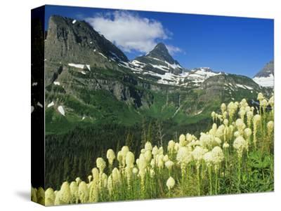 Beargrass Near Logan Pass in Gacier National Park, Montana, Usa-Chuck Haney-Stretched Canvas Print