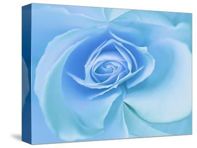 Close-Up of a Blue Rose-Adam Jones-Stretched Canvas Print