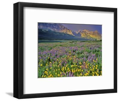Meadow of Wildflowers in the Many Glacier Valley of Glacier National Park, Montana, USA-Chuck Haney-Framed Photographic Print