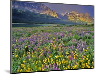 Meadow of Wildflowers in the Many Glacier Valley of Glacier National Park, Montana, USA-Chuck Haney-Mounted Photographic Print