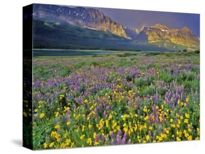Meadow of Wildflowers in the Many Glacier Valley of Glacier National Park, Montana, USA-Chuck Haney-Stretched Canvas Print