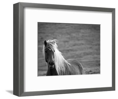 Islandic Horse with Flowing Light Colored Mane, Iceland-Joan Loeken-Framed Photographic Print