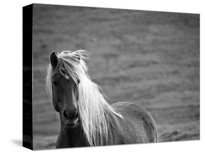 Islandic Horse with Flowing Light Colored Mane, Iceland-Joan Loeken-Stretched Canvas Print