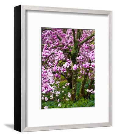 Cherry Blossom Tree in Spring Bloom, Wilmington, Delaware, Usa-Jay O'brien-Framed Photographic Print