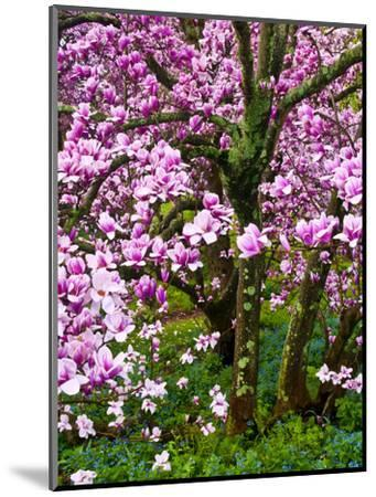 Cherry Blossom Tree in Spring Bloom, Wilmington, Delaware, Usa-Jay O'brien-Mounted Photographic Print