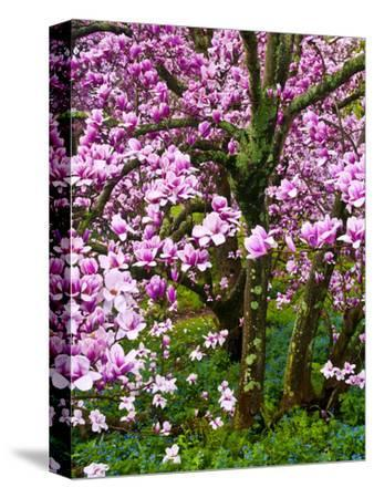 Cherry Blossom Tree in Spring Bloom, Wilmington, Delaware, Usa-Jay O'brien-Stretched Canvas Print