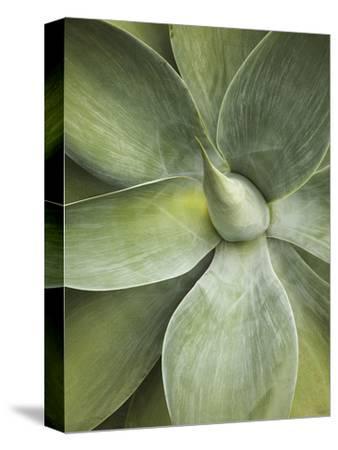 Agave Cactus, Longwood Gardens, Pennsylvania, Usa-Adam Jones-Stretched Canvas Print