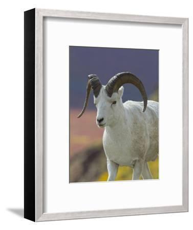 Bighorn Sheep, Alaska, USA-Hugh Rose-Framed Photographic Print
