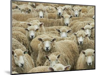 Mob of Sheep, Catlins, South Otago, South Island, New Zealand-David Wall-Mounted Photographic Print