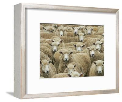 Mob of Sheep, Catlins, South Otago, South Island, New Zealand-David Wall-Framed Photographic Print