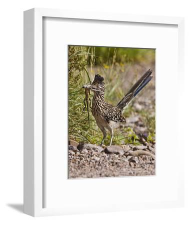 Greater Roadrunner, Texas, USA-Larry Ditto-Framed Photographic Print