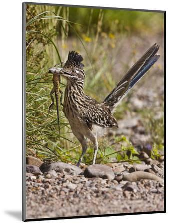 Greater Roadrunner, Texas, USA-Larry Ditto-Mounted Photographic Print